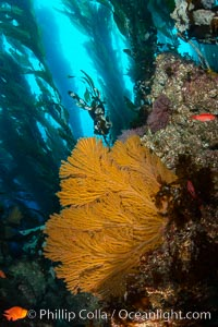 California golden gorgonian on underwater rocky reef, Catalina Island. The golden gorgonian is a filter-feeding temperate colonial species that lives on the rocky bottom at depths between 50 to 200 feet deep. Each individual polyp is a distinct animal, together they secrete calcium that forms the structure of the colony. Gorgonians are oriented at right angles to prevailing water currents to capture plankton drifting by. Catalina Island, California, USA