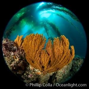 California golden gorgonian under a kelp forest, Catalina Island