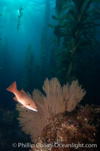 Sheephead and golden gorgonian, underwater in a kelp forest, Muricea californica, Semicossyphus pulcher, San Clemente Island