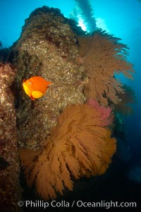 Garibaldi and California golden gorgonians on rocky reef, below kelp forest, underwater.  The golden gorgonian is a filter-feeding temperate colonial species that lives on the rocky bottom at depths between 50 to 200 feet deep.  Each individual polyp is a distinct animal, together they secrete calcium that forms the structure of the colony. Gorgonians are oriented at right angles to prevailing water currents to capture plankton drifting by, Muricea californica, Hypsypops rubicundus, San Clemente Island