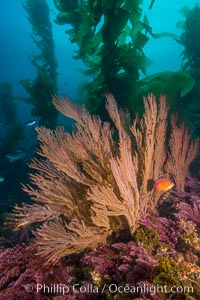 California golden gorgonian on underwater rocky reef below kelp forest, San Clemente Island. The golden gorgonian is a filter-feeding temperate colonial species that lives on the rocky bottom at depths between 50 to 200 feet deep. Each individual polyp is a distinct animal, together they secrete calcium that forms the structure of the colony. Gorgonians are oriented at right angles to prevailing water currents to capture plankton drifting by, San Clemente Island. The golden gorgonian is a filter-feeding temperate colonial species that lives on the rocky bottom at depths between 50 to 200 feet deep. Each individual polyp is a distinct animal, together they secrete calcium that forms the structure of the colony. Gorgonians are oriented at right angles to prevailing water currents to capture plankton drifting by. USA, Muricea californica, natural history stock photograph, photo id 30909