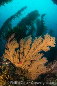 California golden gorgonian on underwater rocky reef below kelp forest, San Clemente Island. The golden gorgonian is a filter-feeding temperate colonial species that lives on the rocky bottom at depths between 50 to 200 feet deep. Each individual polyp is a distinct animal, together they secrete calcium that forms the structure of the colony. Gorgonians are oriented at right angles to prevailing water currents to capture plankton drifting by, San Clemente Island. The golden gorgonian is a filter-feeding temperate colonial species that lives on the rocky bottom at depths between 50 to 200 feet deep. Each individual polyp is a distinct animal, together they secrete calcium that forms the structure of the colony. Gorgonians are oriented at right angles to prevailing water currents to capture plankton drifting by. San Clemente Island, California, USA, Muricea californica, natural history stock photograph, photo id 30928