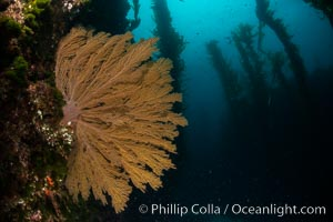 California golden gorgonian on underwater rocky reef below kelp forest, San Clemente Island. The golden gorgonian is a filter-feeding temperate colonial species that lives on the rocky bottom at depths between 50 to 200 feet deep. Each individual polyp is a distinct animal, together they secrete calcium that forms the structure of the colony. Gorgonians are oriented at right angles to prevailing water currents to capture plankton drifting by, San Clemente Island. The golden gorgonian is a filter-feeding temperate colonial species that lives on the rocky bottom at depths between 50 to 200 feet deep. Each individual polyp is a distinct animal, together they secrete calcium that forms the structure of the colony. Gorgonians are oriented at right angles to prevailing water currents to capture plankton drifting by, Muricea californica