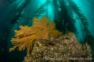 California golden gorgonian on underwater rocky reef below kelp forest, San Clemente Island. The golden gorgonian is a filter-feeding temperate colonial species that lives on the rocky bottom at depths between 50 to 200 feet deep. Each individual polyp is a distinct animal, together they secrete calcium that forms the structure of the colony. Gorgonians are oriented at right angles to prevailing water currents to capture plankton drifting by, Muricea californica