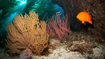 Garibaldi swims beside golden and red gorgonians, underwater, Muricea californica, Lophogorgia chilensis, Hypsypops rubicundus, Catalina Island
