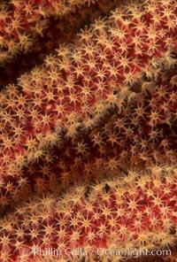 California Golden gorgonian polyps, Muricea californica, San Clemente Island