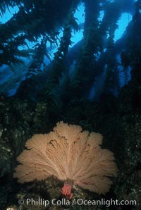 California Golden gorgonian, Muricea californica, San Clemente Island