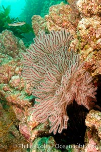 California Golden gorgonian on the rocky reef. San Clemente Island, California, USA, Muricea californica, natural history stock photograph, photo id 10189