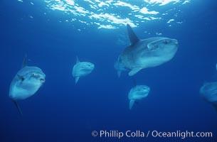 Ocean sunfish schooling, open ocean near San Diego, Mola mola