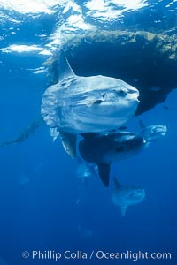 Ocean sunfish schooling near drift kelp, soliciting cleaner fishes, open ocean, Baja California., Mola mola, natural history stock photograph, photo id 06315