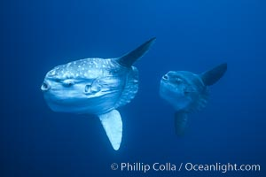 Ocean sunfish schooling near drift kelp, soliciting cleaner fishes, open ocean, Baja California., Mola mola, natural history stock photograph, photo id 06389