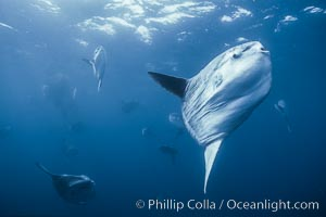 Ocean sunfish near drift kelp, soliciting cleaner fishes, open ocean, Baja California, Mola mola