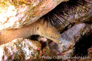 Moray eel in rock crevice, Gymnothorax mordax, Guadalupe Island (Isla Guadalupe)