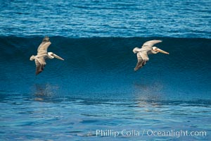 California Pelican flying on a wave, riding the updraft from the wave., Pelecanus occidentalis, Pelecanus occidentalis californicus, natural history stock photograph, photo id 30257