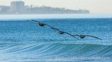 California Pelican flying on a wave, riding the updraft from the wave., Pelecanus occidentalis, Pelecanus occidentalis californicus, natural history stock photograph, photo id 30261