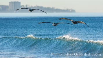 California Pelican flying on a wave, riding the updraft from the wave., Pelecanus occidentalis, Pelecanus occidentalis californicus, natural history stock photograph, photo id 30262