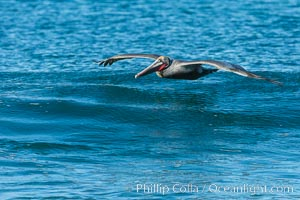 California Pelican flying on a wave, riding the updraft from the wave, Pelecanus occidentalis, Pelecanus occidentalis californicus