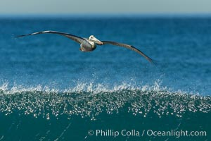 California Pelican flying on a wave, riding the updraft from the wave., Pelecanus occidentalis, Pelecanus occidentalis californicus, natural history stock photograph, photo id 30279
