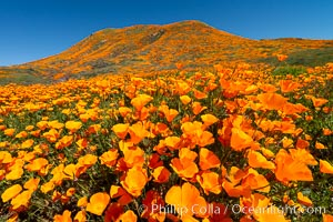 California Poppies in Bloom, Elsinore. USA, Eschscholzia californica, natural history stock photograph, photo id 35225