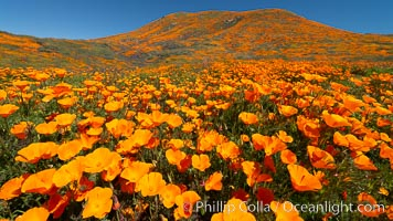 California Poppies in Bloom, Elsinore. USA, Eschscholzia californica, natural history stock photograph, photo id 35226
