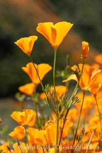 California Poppies in Bloom, Elsinore, Eschscholzia californica