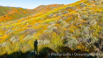 California Poppies in Bloom, Elsinore. USA, Eschscholzia californica, natural history stock photograph, photo id 35242