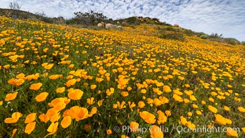 California poppies cover the hillsides in bright orange, Eschscholzia californica, Del Dios, San Diego