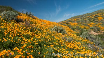 California Poppies, Diamond Valley Lake, Hemet. USA, Eschscholzia californica, natural history stock photograph, photo id 33133