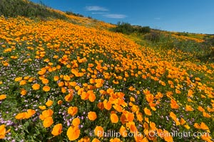 California Poppies, Diamond Valley Lake, Hemet. Hemet, California, USA, Eschscholzia californica, natural history stock photograph, photo id 33135