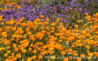 California Poppies, Diamond Valley Lake, Hemet. Hemet, California, USA, Eschscholzia californica, natural history stock photograph, photo id 33140