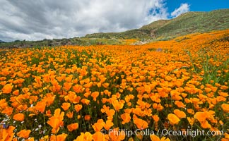 California Poppies, Elsinore. Elsinore, California, USA, Eschscholzia californica, natural history stock photograph, photo id 33115