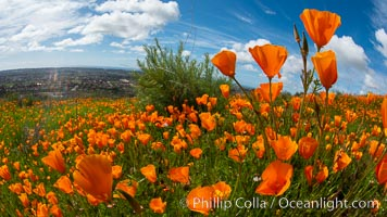 California Poppies, Rancho La Costa, Carlsbad. Rancho La Costa, Carlsbad, California, USA, Eschscholzia californica, natural history stock photograph, photo id 35186