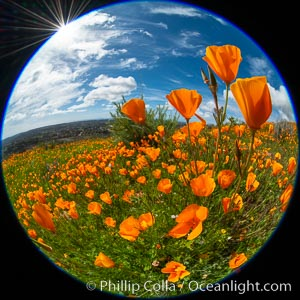 California Poppies, Rancho La Costa, Carlsbad. USA, Eschscholzia californica, natural history stock photograph, photo id 35188