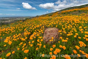 California Poppies, Rancho La Costa, Carlsbad. Rancho La Costa, Carlsbad, California, USA, Eschscholzia californica, natural history stock photograph, photo id 35190