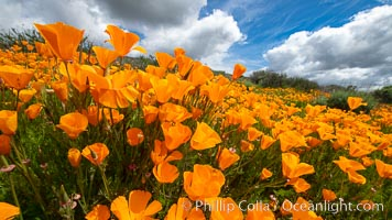 California Poppies, Rancho La Costa, Carlsbad. Rancho La Costa, Carlsbad, California, USA, Eschscholzia californica, natural history stock photograph, photo id 35191