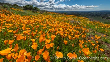 Image 35209, California Poppies, Rancho La Costa, Carlsbad. USA, Eschscholzia californica, Phillip Colla, all rights reserved worldwide. Keywords: bloom, california, california poppy, carlsbad, eschscholtzia californica, eschscholzia californica, flower, nature, outside, plant, rancho la costa, spring, wildflower.