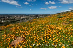 California Poppies, Rancho La Costa, Carlsbad, Eschscholzia californica