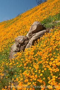 Poppies and boulders. Del Dios, San Diego, California, USA, Eschscholzia californica, Eschscholtzia californica, natural history stock photograph, photo id 20493