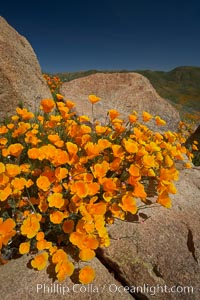 Image 20495, California poppies bloom amidst rock boulders. Elsinore, California, USA, Eschscholzia californica, Eschscholtzia californica, Phillip Colla, all rights reserved worldwide. Keywords: bloom, bouquet, california, california poppies, california poppy, elsinore, environment, eschscholtzia californica, eschscholzia californica, floral, flower, hill, meadow, nature, orange, outdoors, outside, plant, poppies, poppy, spring, usa, wildflower, yellow.