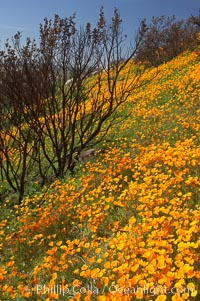 Image 20498, California poppies bloom in enormous fields cleared just a few months earlier by huge wildfires.  Burnt dead bushes are seen surrounded by bright poppies. Del Dios, San Diego, California, USA, Eschscholzia californica, Eschscholtzia californica, Phillip Colla, all rights reserved worldwide. Keywords: bloom, bouquet, california, california poppies, california poppy, del dios, environment, eschscholtzia californica, eschscholzia californica, floral, flower, hill, meadow, nature, orange, outdoors, outside, plant, poppies, poppy, san diego, spring, usa, wildflower, yellow.