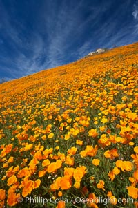 California poppies cover the hillsides in bright orange, just months after the area was devastated by wildfires, Eschscholzia californica, Eschscholtzia californica, Del Dios, San Diego
