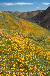 California poppies cover the hillsides in bright orange, just months after the area was devastated by wildfires. Del Dios, San Diego, California, USA, Eschscholzia californica, Eschscholtzia californica, natural history stock photograph, photo id 20501