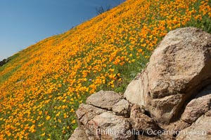 Poppies and boulders, Eschscholzia californica, Eschscholtzia californica, Del Dios, San Diego, California