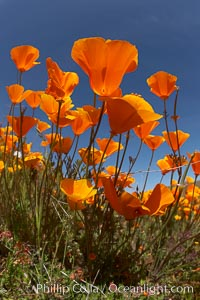 California poppy plants viewed from the perspective of a bug walking below the bright orange blooms, Eschscholzia californica, Eschscholtzia californica, Elsinore
