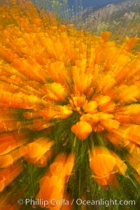 California poppies in a blend of rich orange color, blurred by a time exposure, Eschscholzia californica, Eschscholtzia californica, Del Dios, San Diego