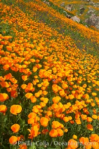 California poppies cover the hillsides in bright orange, just months after the area was devastated by wildfires. Del Dios, San Diego, USA, Eschscholzia californica, Eschscholtzia californica, natural history stock photograph, photo id 20509