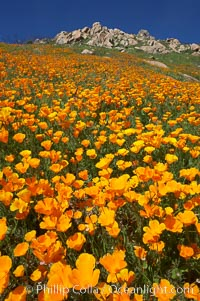 Image 20513, California poppies cover the hillsides in bright orange, just months after the area was devastated by wildfires. Del Dios, San Diego, USA, Eschscholzia californica, Eschscholtzia californica, Phillip Colla, all rights reserved worldwide. Keywords: bloom, bouquet, california, california poppies, california poppy, del dios, environment, eschscholtzia californica, eschscholzia californica, floral, flower, hill, meadow, nature, orange, outdoors, outside, plant, poppies, poppy, san diego, spring, usa, wildflower, yellow.