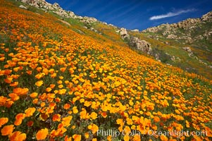 Image 20514, California poppies cover the hillsides in bright orange, just months after the area was devastated by wildfires. Del Dios, San Diego, California, USA, Eschscholzia californica, Eschscholtzia californica