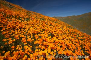 California poppies cover the hills in a brilliant springtime bloom, Eschscholzia californica, Eschscholtzia californica, Elsinore