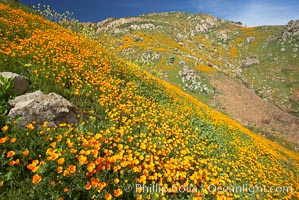 Image 20524, California poppies cover the hillsides in bright orange, just months after the area was devastated by wildfires. Del Dios, San Diego, California, USA, Eschscholzia californica, Eschscholtzia californica, Phillip Colla, all rights reserved worldwide. Keywords: bloom, bouquet, california, california poppies, california poppy, del dios, environment, eschscholtzia californica, eschscholzia californica, floral, flower, hill, meadow, nature, orange, outdoors, outside, plant, poppies, poppy, san diego, spring, usa, wildflower, yellow.